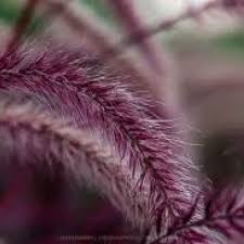 47 best grasses and ground covers images on grasses