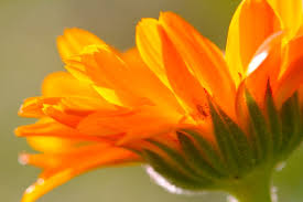 calendula flowers calendula edible medicinal flower chestnut school of herbal