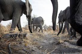 TwitterLog     Jul     lt  Twitter CFCL Wiki willbl  Elephants walking over the top of my camera trap in Namibia