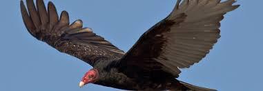 Seeking Vulture Vulture Symbolism Vulture Meaning Spirit Animal Totem Messages