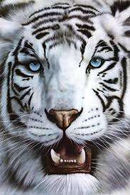amazon com white siberian tiger nature poster size 24 x 36