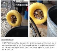 Funny Tiger Memes - i can has cheezburger tiger funny animals online cheezburger