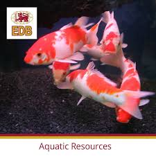 23 best ornamental fish images on
