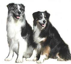 australian shepherd puppies for sale australian shepherd breeders california