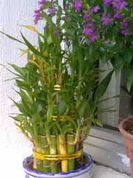 how to grow lucky bamboo plants bomets
