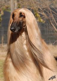 afghan hound blonde afghan hound i bet it forgets it u0027s a dog all the time boom