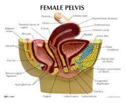 Anatomy Of Female Reproductive System Female And Male Reproductive Systems Sonography Folder