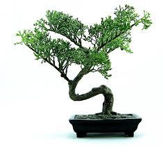 free photo bonsai tree green plant small free image on