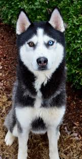 best 25 siberian husky rescue ideas on pinterest siberian husky