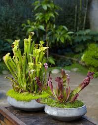 carnivorous plants tall pitcher plants greenhaven indoor gardens