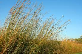 Tropical Savanna Dominant Plants - types of trees grass u0026 shrubs in the savanna hunker
