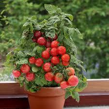 tomato medicinal plant dr tohid nooralvandi pulse linkedin