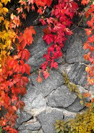 red climbing plant on grey stone wall background stock photo