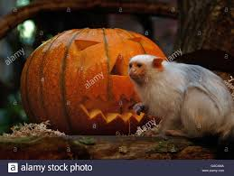 halloween treats for london zoo animals stock photo royalty free