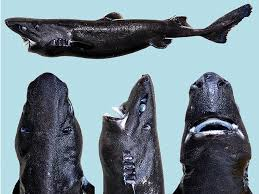 weirdest sharks on earth ranked by unusualness business insider