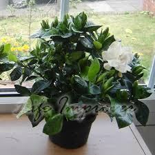 Fragrant Plants For Pots - 1 scented fragrance gardenia jasmine evergreen indoorn house plant