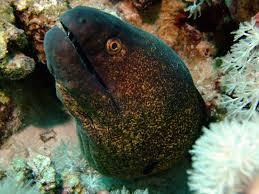 Seeking Eel Eels Around Molokini Awesome And Strong Reef Predators
