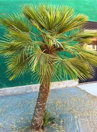 mediterranean fan palm tree chamaerops humilis european bush fan palm