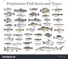 fish sorts types various freshwater fish stock vector 428728249