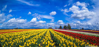 skagit valley tulip festival bloom map washington skagit county every county