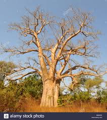 baobab tree boab boaboa tree baobab tree the gambia