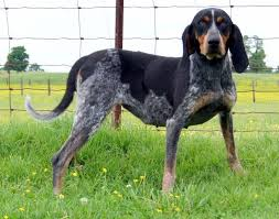 bluetick coonhound youtube bluetick coonhound all big dog breeds