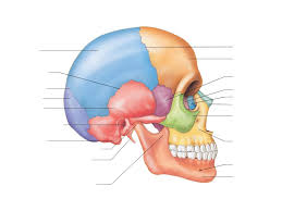 Nose Anatomy And Physiology Anatomy And Physiology Ppt Download