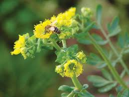 herb to common rue grow herb companion