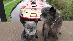 affenpinscher at westminster canal fest 2017 at botany bay an ickle taste with two