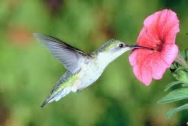 hummingbird flowers hummingbird flowers that bloom from march to may home guides