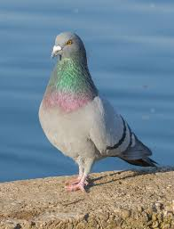 How To Get Rid Of Pigeons Off My Roof by Rock Dove Wikipedia