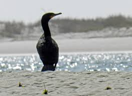 South Carolina wildlife tours images Five common birds seen on our salt marsh kayak tour glass bottom jpg