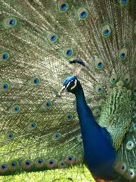 merak biru gambar burung sayap margasatwa hijau paruh biru fauna