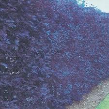 purple leaf plum hedge direct gardening