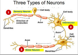 What Is Interneuron What Kind Of Neuron Is The Most Abundant In The Human Body Socratic