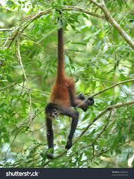 costa rican spider monkey male juvenile stock photo 34638145