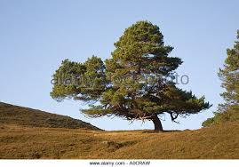 scots pine caledonian forest trees scotland stock photos