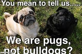 Depressed Pug Meme - deluxe depressed pug meme 80 skiparty wallpaper