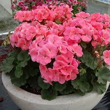 geranium nano salmon seeds from park seed