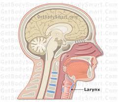 Human Anatomy Respiratory System Larynx Anatomy And Physiology Tutorials Quizzes