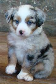 twin oaks 2 australian shepherd australian shepherd smart working dog mini australian