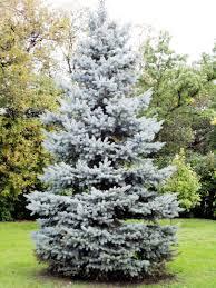 blue spruce 119 albert blue spruce 20 w x 10 w landmark landscapes