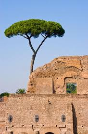 pine tree ancient rome stock photo image 19202356