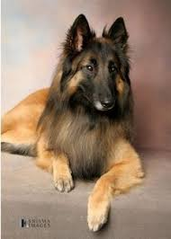 belgian sheepdog registry belgian tervuren owes its name to the belgian village of tervuren