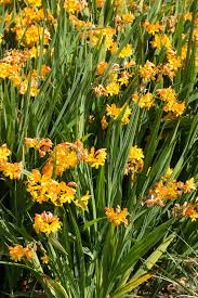 crocosmia paul u0027s best yellow avon bulbs