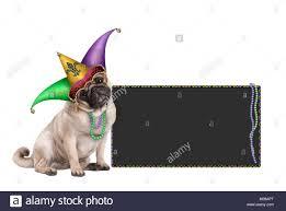 mardi gras jester ribbon dog mardi gras carnival stock photos mardi gras carnival stock images