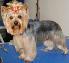 haircuts for yorkie dogs females dog grooming my job pinterest dog yorkies and haircuts