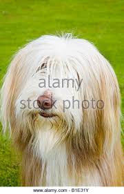 bearded collie montreal dog breeds group stock photos u0026 dog breeds group stock images alamy
