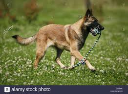 belgian sheepdog clipart malinois dog with muzzle stock photos u0026 malinois dog with muzzle