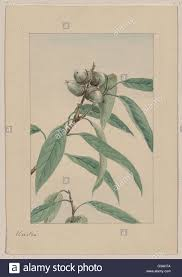 Oak Tree Drawing Kashi Drawing Shows A Branch Of A Kashi Or Evergreen Oak Tree
